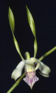 Dendrobium Antenneatum