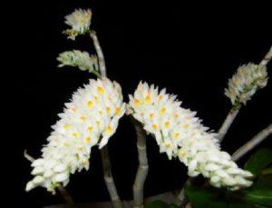 Dendrobium Secundum Alba