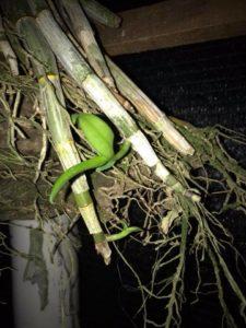 tunas-anggrek-Dendrobium