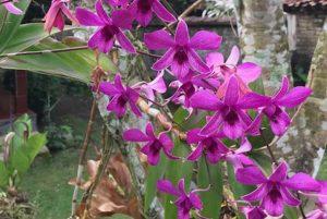 Dendrobium Bantimurung
