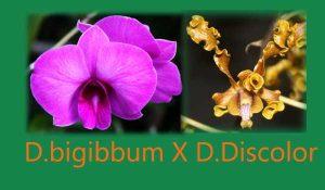 Indukan Dendrobium Superbiens