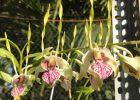 Anggrek Dendrobium Stratiotes