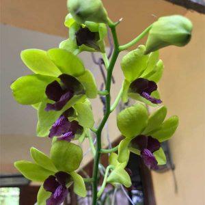 Dendrobium Tongchai Gold
