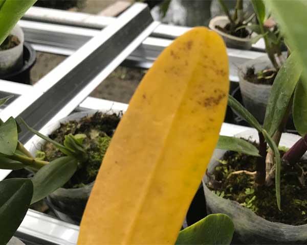 Fungisida Anggrek