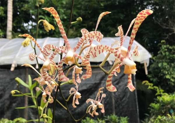 Anggrek Kalajengking Ada Mitos Dibalik Keindahannya Aaorchid Kebun Bunga Anggrek Rkebun Anggrek Di Rumah