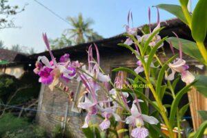 Anggrek Dendrobium Leporinum